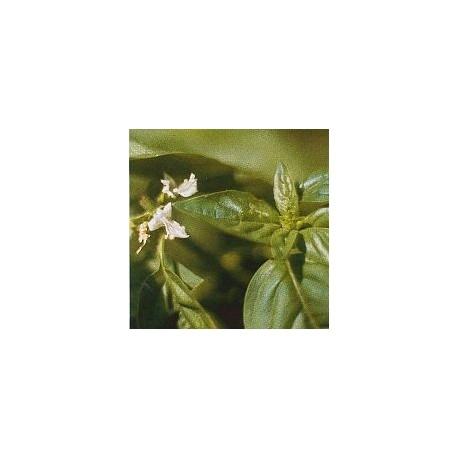 Basilic*