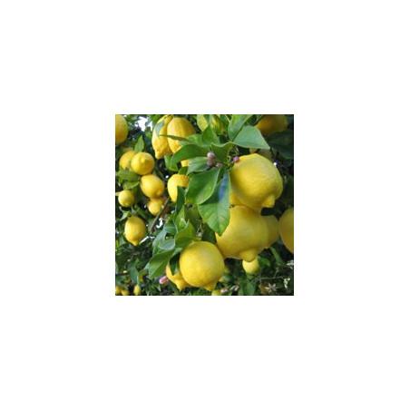 Citronnier*