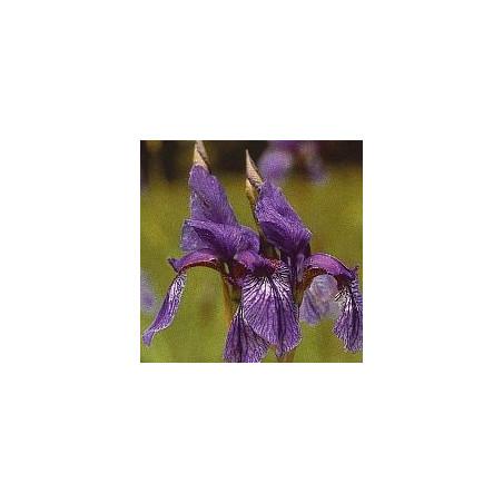 Iris*