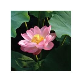 Lotus*