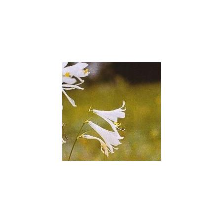 Lys Blanc*