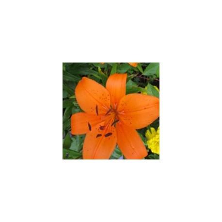 Lys Orange*