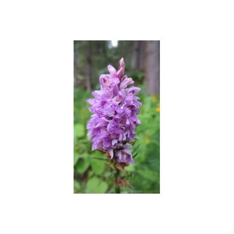 Orchis mâle*