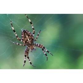 Araignée*