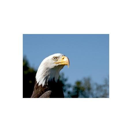 Aigle à tête blanche*