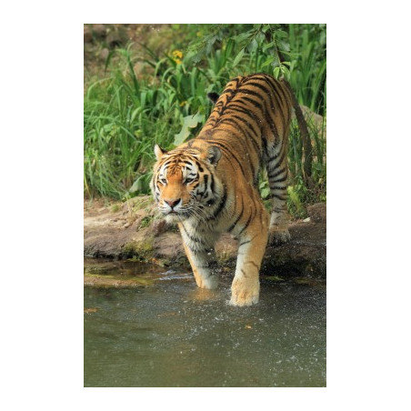 Tigre*