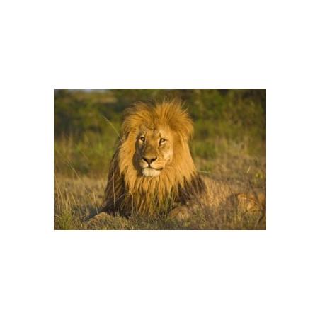 Lion*