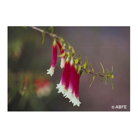 Bush Fuchsia
