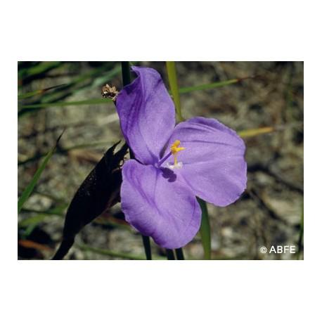 Bush Iris