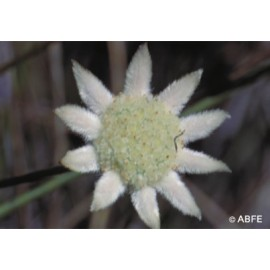 Little Flannel Flower