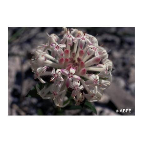 Slender Rice Flower