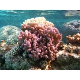 Corail Digitiforme (Hood Coral)*