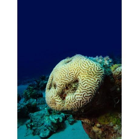 Corail Cerveau (Brain Coral)*