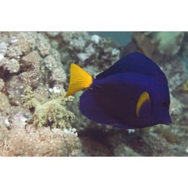 Poisson Ange Royal (Angel Fish)*