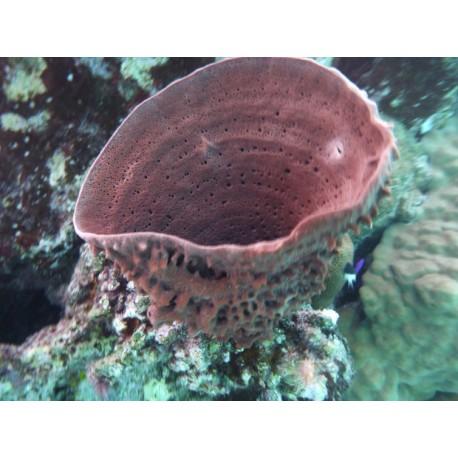 Eponge Tubulaire à Epines (Spongiaires)*