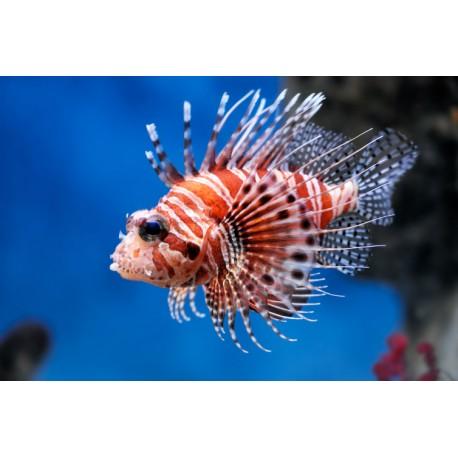 Rascasse Volante (Lionfish)*