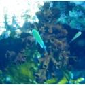 Corail Arbuscule (Corail Dendro)*