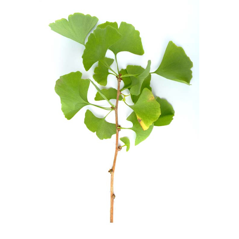 Ginkgo biloba Bio 40 gélules