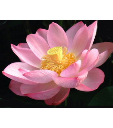 Crème Lotus