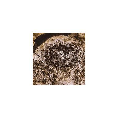 Lichen Caloplaca Flavescens
