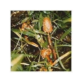 Champignon d'Amazonie n°1