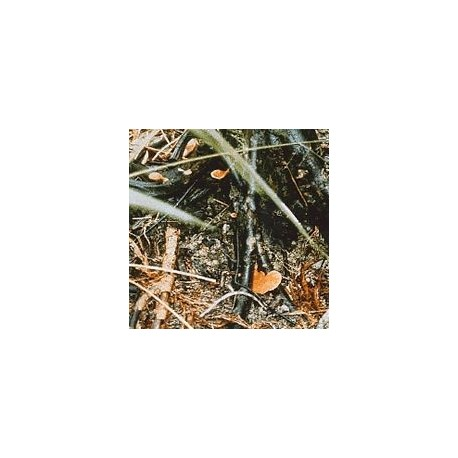 Champignon d'Amazonie n°2