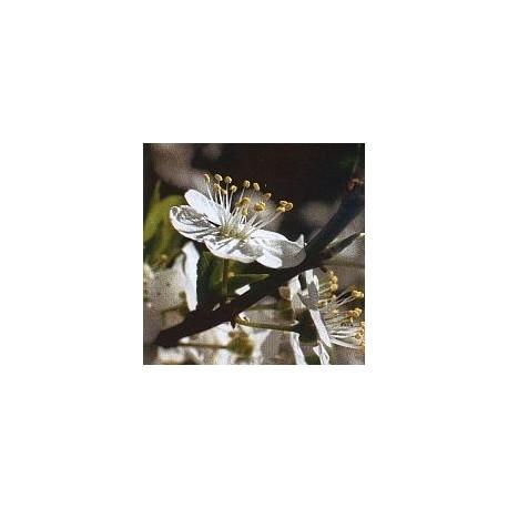 Prunier/Cherry Plum*
