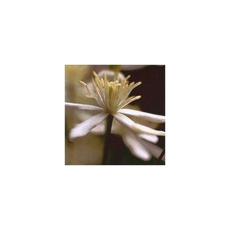 Clématite/clematis*