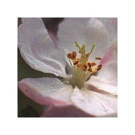 Pommier Sauvage/Crab Apple*