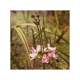 Hottonie des Marais/ Violette d'eau