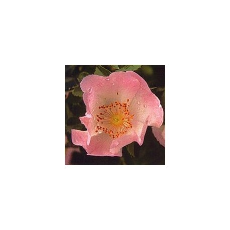 Eglantier/Wild Rose*