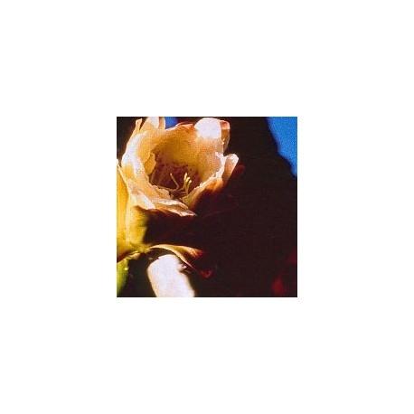 Cereus Peruvianus*