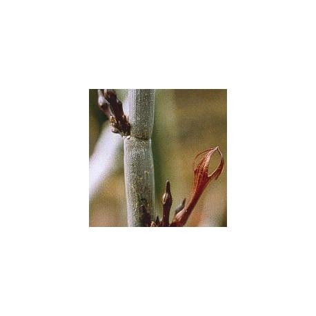 Céropégia Fusca* (Release Cactus) élixir 15ml