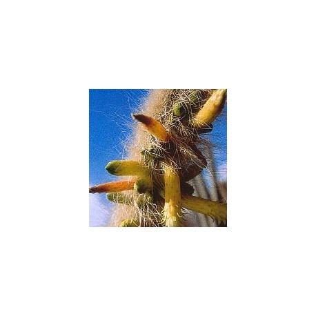 Cleistocactus Ritteri* (Inner Cleansing Cactus) élixir 15ml