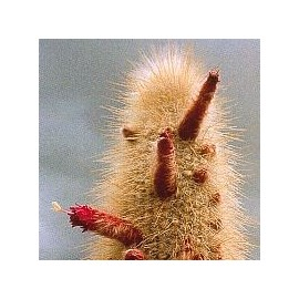 Cleistocactus Strausii*