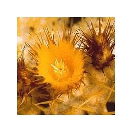 Echinocactus Grusonii*