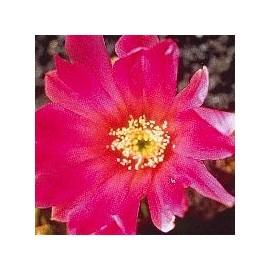 Echinocereus* (Beauty Cactus) élixir 15ml