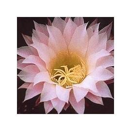 Echinopsis Oxygona*