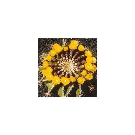 Ferocactus Schwarzii*