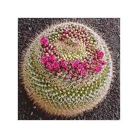 Mammillaria Rubrograndis* (Formation Cactus) élixir 15ml