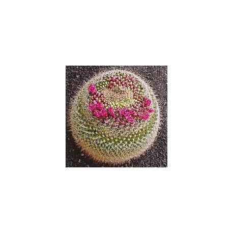 Mammillaria Rubrograndis*