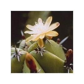 Myrtillocactus Geometrizans* (Blueberry Cactus) élixir 15ml