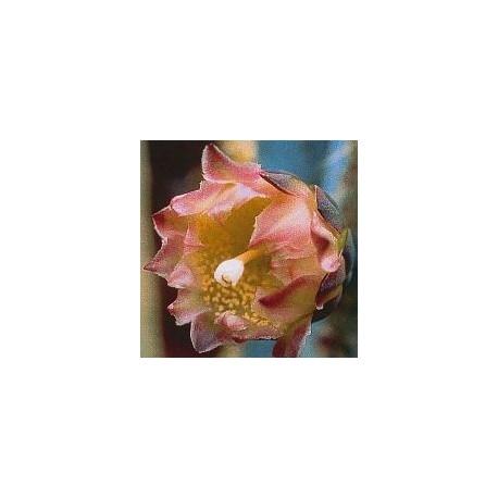 Pilosocereus Pachycladus* (Inside / Outside Cactus) élixir 15ml