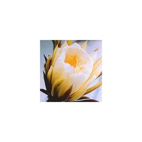 Silenicereus Grandiflorus* (Queen of the night cactus) élixir 15ml