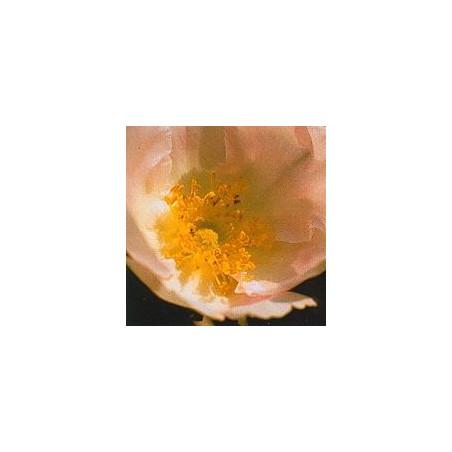 Rose du Japon*