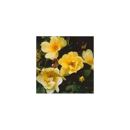 Rose Pimprenelle*