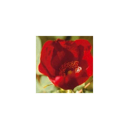 Rose Sauvage*