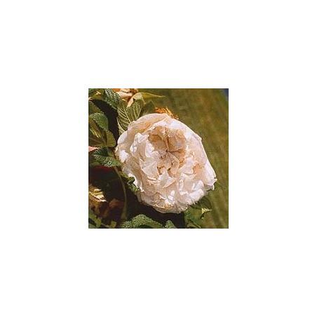 Rose Rugueuse Souvenir de Philémon Cochet*