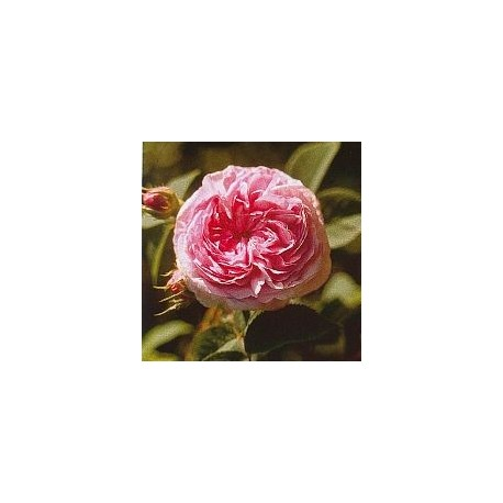 Green Rose Rose Verte*