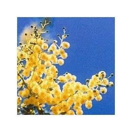 Mimosa*